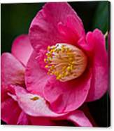 Japanese Camellia-the Official State Flower Of  Alabama Canvas Print