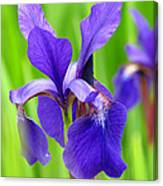 Japanese Iris By Kim Mobley Canvas Print