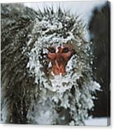 Japanese Macaque Covered In Snow Japan Canvas Print