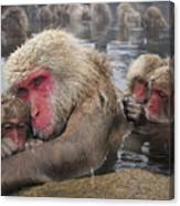 Japanese Macaque Grooming Mother Canvas Print
