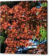 Japanese Maple Canopy Canvas Print