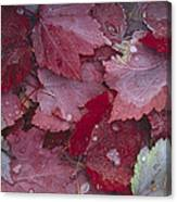 Japanese Maple Leaves With Frost Canvas Print