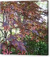 Japanese Maple Spring Canvas Print