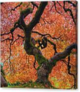 Japanese Maple Tree In Fall Canvas Print