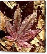 Japanese Maple Tree Leaves Canvas Print