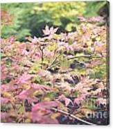 Japanese Maples Canvas Print