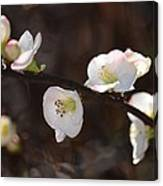 Japanese Quince 2 Canvas Print