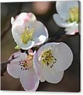 Japanese Quince 4 Canvas Print