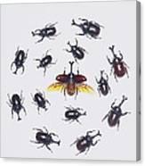 Japanese Rhinoceros Beetle Males Canvas Print