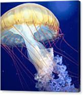 Japanese Sea Nettle Chrysaora Pacifica Canvas Print