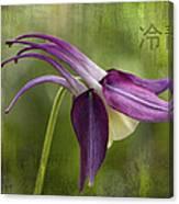 Japanese Serenity Columbine Blossom Canvas Print
