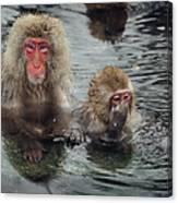 Japanese Snow Monkeys Enjoying The Hot Canvas Print