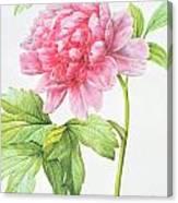 Japanese Tree Peony Canvas Print