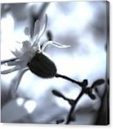 Jasmine Blossom Canvas Print