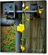 Jasmine Flowers On Gate Latch Canvas Print