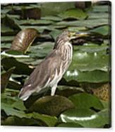 Javan Pond Heron Dthn0071 Canvas Print
