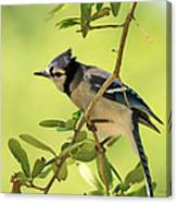 Jay In Nature Canvas Print