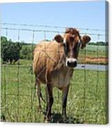 Jersey Cow In Georgia Canvas Print