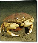 Jonah Crab Canvas Print
