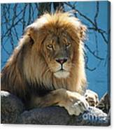 Joshua The Lion On His Rock Canvas Print