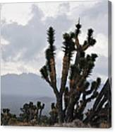 Joshua Tree Forest Ivanpah Valley Canvas Print