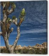 Joshua Tree In Joshua Tree National Park No. 279 Canvas Print