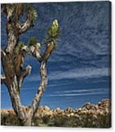 Joshua Tree In Joshua Tree National Park No. 279 Canvas Print