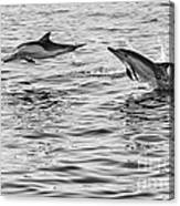 Jump For Joy - Common Dolphins Leaping. Canvas Print
