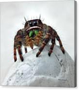 Jumper Spider 2 Canvas Print