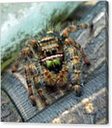 Jumper Spider 3 Canvas Print