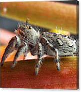 Jumper Spider Canvas Print