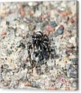 Jumping Spider Face On Canvas Print