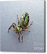 Jumping Spider - Green Salticidae Canvas Print