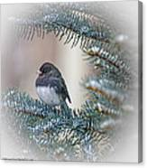 Junco In Pine Canvas Print