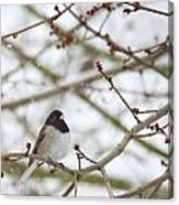 Junco In Snow Canvas Print