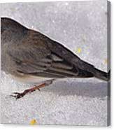 Junco In The Deep Snow Canvas Print