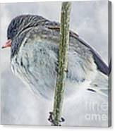 Junco On A Twig Canvas Print