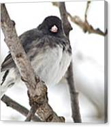 Junco Posing Canvas Print
