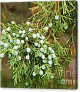Juniper Berries Canvas Print