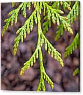 Juniper Leaf Canvas Print