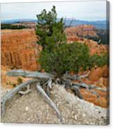 Juniper Tree Clings To The Canyon Edge Canvas Print