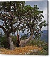 Juniper Tree On The Edge Of The Verde Valley Canvas Print