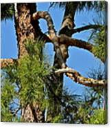Just A Tangle Of Pine Tree Branches Canvas Print