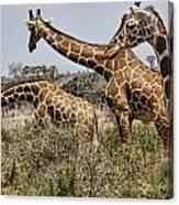 Just Giraffes Canvas Print