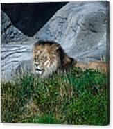 Just Lion Around Canvas Print
