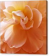 Just Peachy Begonia Flower Canvas Print