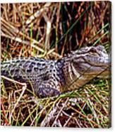 Juvenile American Alligator Canvas Print