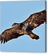 Juvenile Bald Eagle In Flight Close Up Canvas Print
