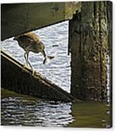 Juvenile Black Crowned Night Heron Canvas Print