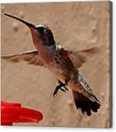 Juvenile Broadtale Anna Hummingbird Landing On The Perch Canvas Print